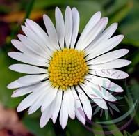 Százszorszép Éden virágesszencia