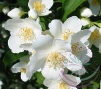 Jázmin ( Jasmine ) Éden virágesszencia