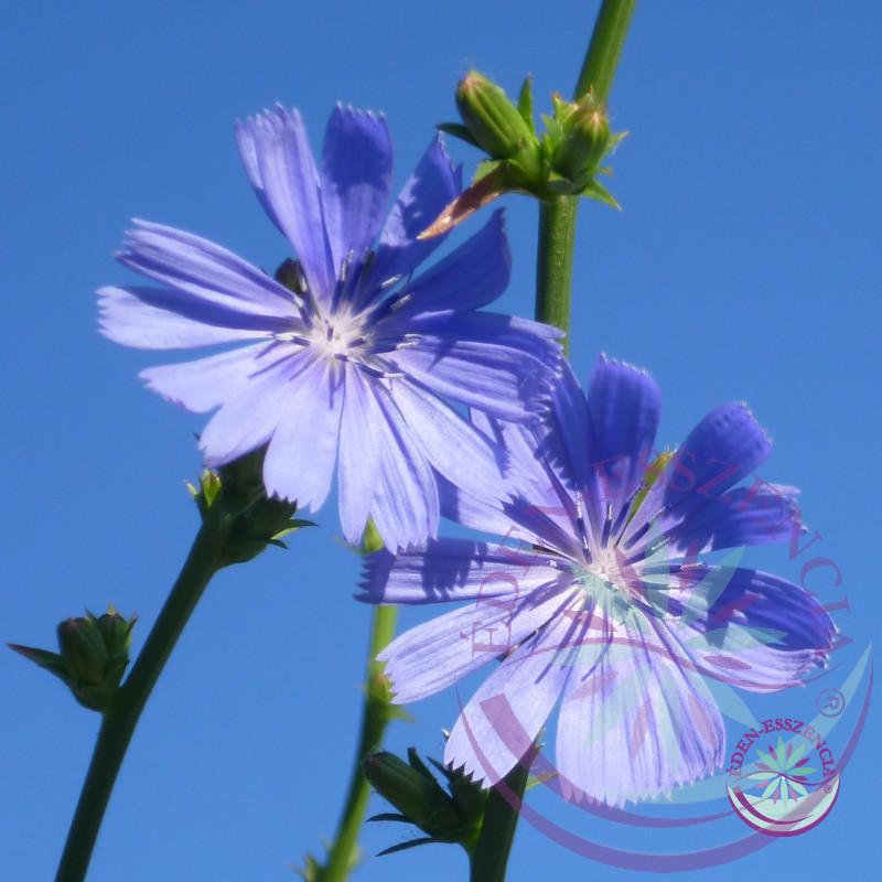 Bach virágterápia -Katángkóró (8. Chicory ) Bach virágesszencia