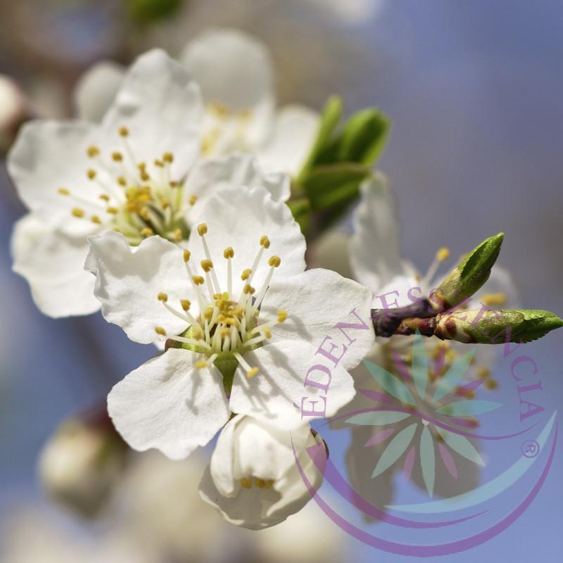 Bach virágterápia -Cseresznyeszilva ( 6. Cherry plum) Bach virágeszencia