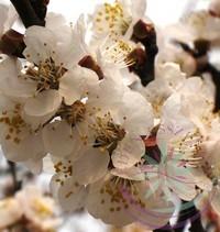 Kajszibarack ( Apricot ) Éden virágesszencia