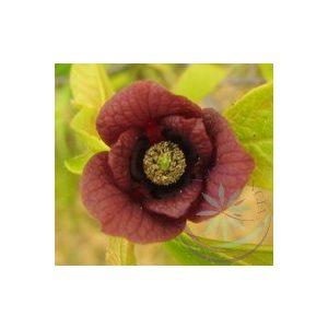 Paw-Paw Éden virágesszencia