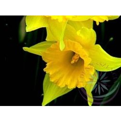 Nárcisz ( Daffodil) Éden virágesszencia