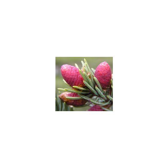 Szúros luc ( Spruce) Éden esszencia
