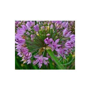 Fokhagyma ( Garlic ) Éden virágesszencia