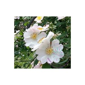 Kisvirágú rózsa ( MaCartney rose) Éden virágesszencia