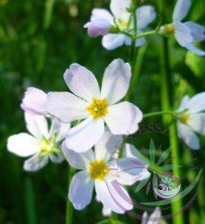 Békaliliom 34. Water Violet Bach virágesszencia