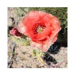 Fügekaktusz ( Prickly pear cactus) Éden virágesszencia