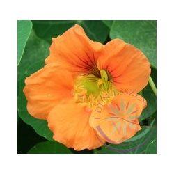 Sarkantyúka ( Nasturtium ) Éden virágesszencia