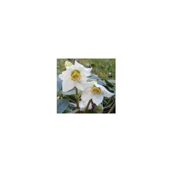 Fekete hunyor ( Helleborus black ) Éden virágesszencia
