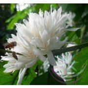 Kávé ( Coffee ) Éden virágesszencia
