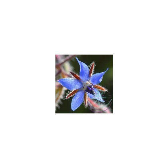 Kerti borágó ( Borage ) Éden virágesszencia