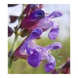 Zsálya ( Sage ) Éden virágesszencia