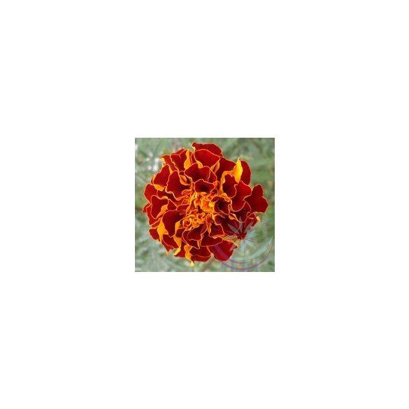 Bársonyvirág ( French Marigold ) Éden virágesszencia