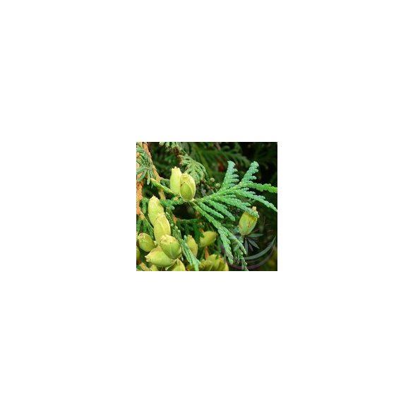 Tuja ( Cedar ) Éden virágesszencia