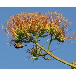 Agavé (Centuary Agave)  Éden virágesszencia