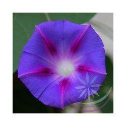 Hajnalka Bíboros ( Morning glory ) Éden virágesszencia