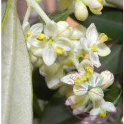 Bach virágterápia - Olajfa 23. Olive Bach virágesszencia