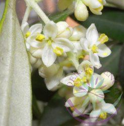 Olajfa 23. Olive Bach virágesszencia