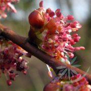 Bach virágterápia -Szilfa ( 11. Elm ) Bach virágesszencia