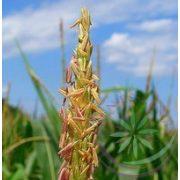Kukorica ( Corn sweet) Éden virágesszencia