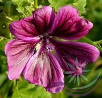 Papsajtmályva ( Mallow ) Éden virágesszencia