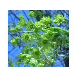 Cukorjuhar ( Maple Sugar ) Éden virágesszencia