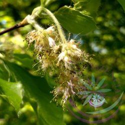 3. Bükkfa virágesszencia-Bach virágterápia