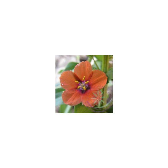 Mezei tikszem ( Pimpernal scarlet or red) Éden virágesszencia