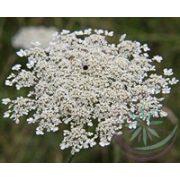 Vadmurok ( Queen Anne's lace) Éden virágesszencia