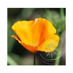Kaliforniai kakukkmák ( California poppy) Éden virágesszencia