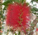 Kefevirág (Bottlebrush) Éden virágesszencia
