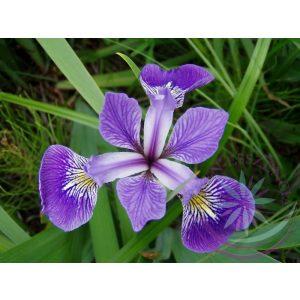 Nőszirom ( Blue flag ) Éden virágesszencia
