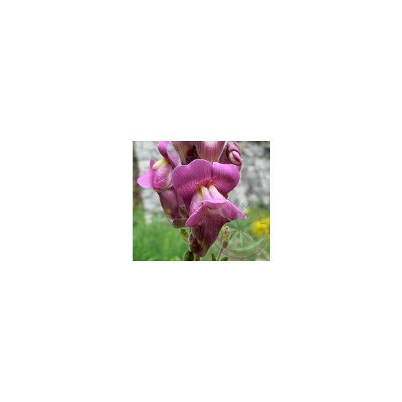 Oroszlánszáj ( Snapdragon ) Éden virágesszencia