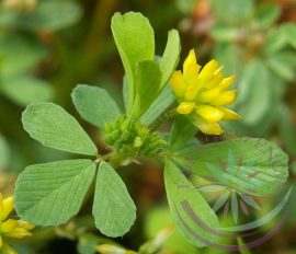 Apró  lóhere ( Four leaf clover) Éden virágesszencia