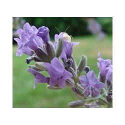 Levendula ( Lavender French) Éden virágesszencia