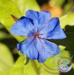 5. Kékgyökér virágesszencia-Bach virágterápia