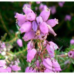 Bach virágterápia-Hangafű ( 14. Heather ) Bach virágesszencia