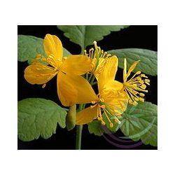 Vérehulló fecskefű ( Celandine) Éden virágesszencia