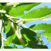 Bach virágterápia-Szelídgesztenye 30 Sweet Chestnut Bach virágesszencia