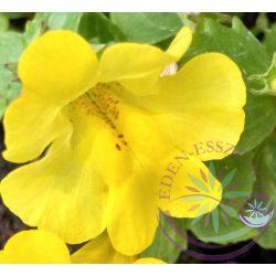 Bach virágterápia-Bohócvirág 20. Mimulus Bach virágesszencia