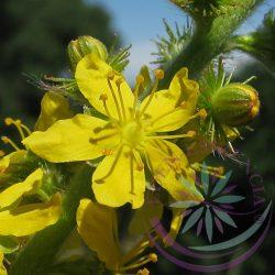 1. Apróbojtorján virágesszencia -Bach virágterápia