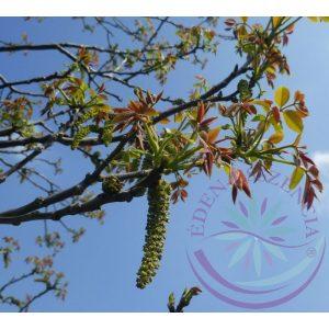 Bach virágterápia-Diófa 33. Walnut Bach virágesszencia