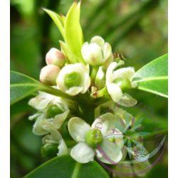 Bach virágterápia - Magyal (15. Holly) Bach virágesszencia