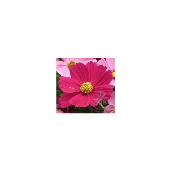 Pillangóvirág ( Cosmos ) Éden virágesszencia