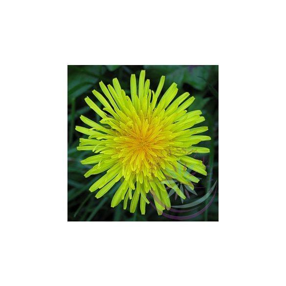Pitypang-Gyermekláncfű ( Dandelion ) Éden virágesszencia