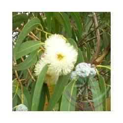 Eukaliptusz ( Eucalyptus) Éden virágesszencia