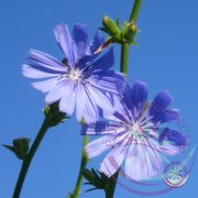 8. Katángkóró vrágesszencia -Bach virágterápia