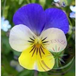 Háromszínű árvácska ( Pansy ) Éden virágesszencia