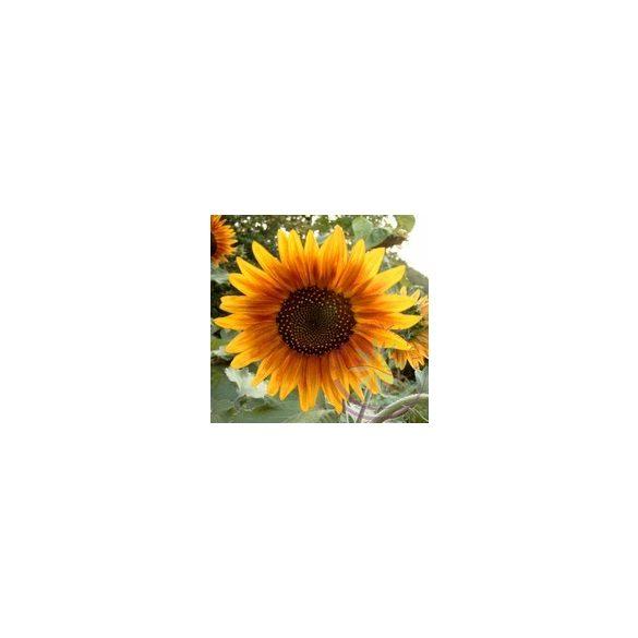 Napraforgó ( Sun flower ) Éden virágesszencia